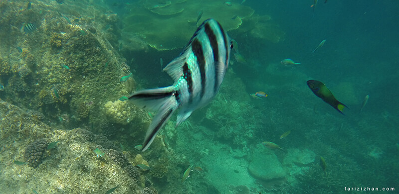 fish-perhentian-island